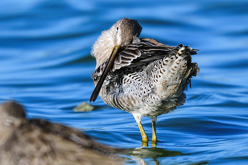 Radio Road, CA: Long-billed Dowitcher Preening for a Night Out