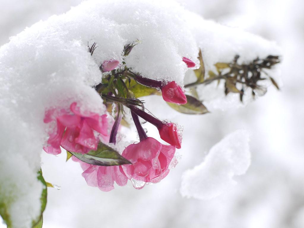 Snow Flower Pink Blossom Schnee Blume Blüte Herbst Autumn …