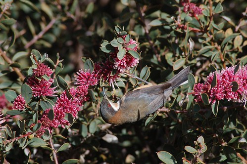 Eastern Spinebill 07-09 | by Friends of Chiltern Mt Pilot National Park