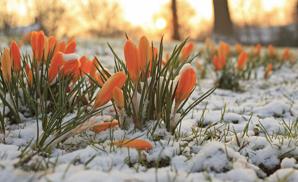 Early Spring or late winter: Crocus in the snow - Explore  Flickr