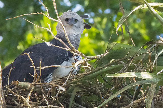 Female Harpy Eagle nesting in Peru_Harpia harpyja ...