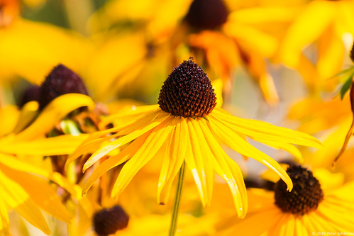 gelber sonnenhut rudbeckia fulgida bumbus flickr. Black Bedroom Furniture Sets. Home Design Ideas