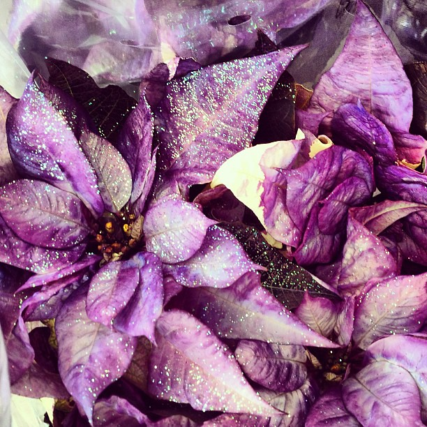 Purple Glitter Poinsettia For Sale In South Jersey Obv