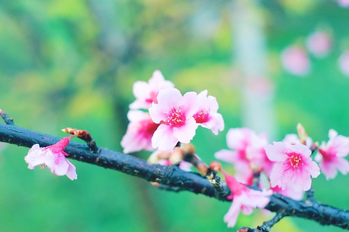 Morning Cherry Blossom | by norsez