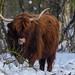 Schotse Hooglander in de laaglanden van de Uithof - Den Haag