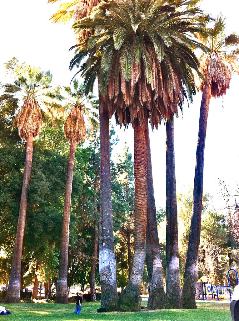 Siamese Palm Trees Note How The Two Different Types Of