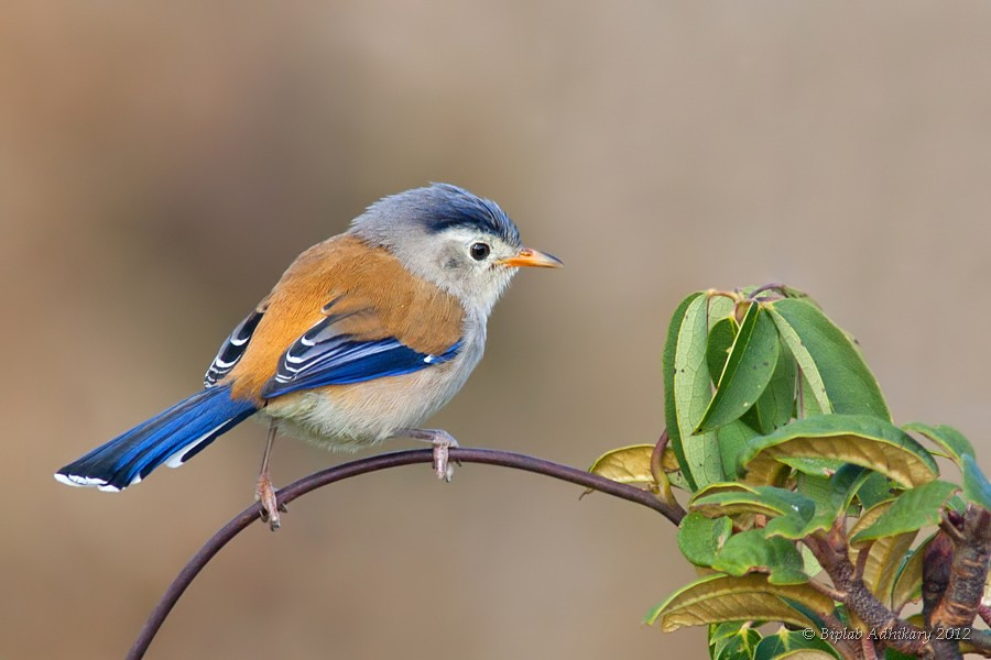 Blue Winged Minla Singalila National Park Wb India