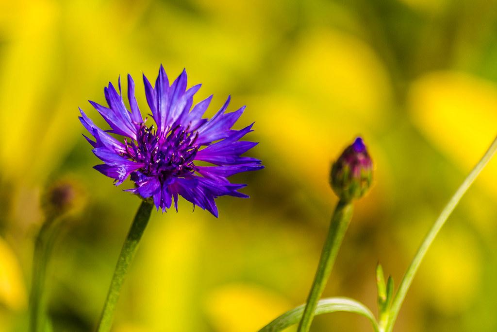 Purple Bloom, Corn Flower (Centaurea cyanus) | Beautiful