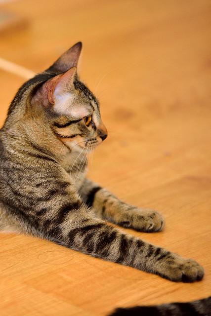 Muriel, gatita atigrada parda tímida y dulce esterilizada, de ojos cobrizos, nacida en Abril´16, en adopción. Valencia. 29322922600_47d81b11d2_z