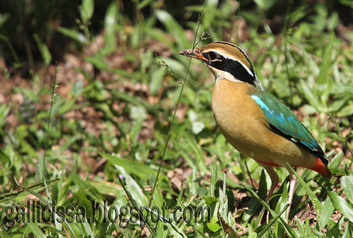 Indian Pitta | by Gallicissa