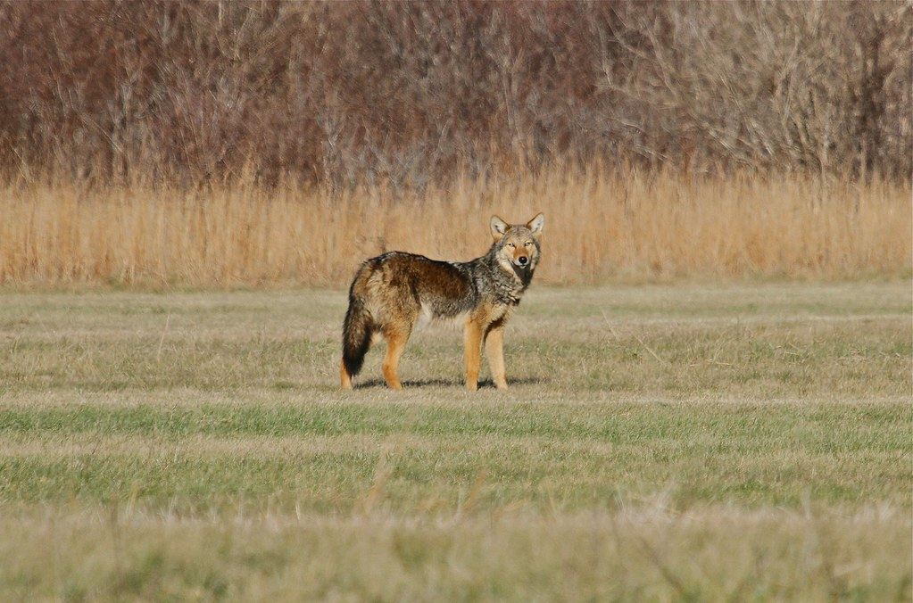 Eastern Coyote Marstons Mills Ma December 24 2012