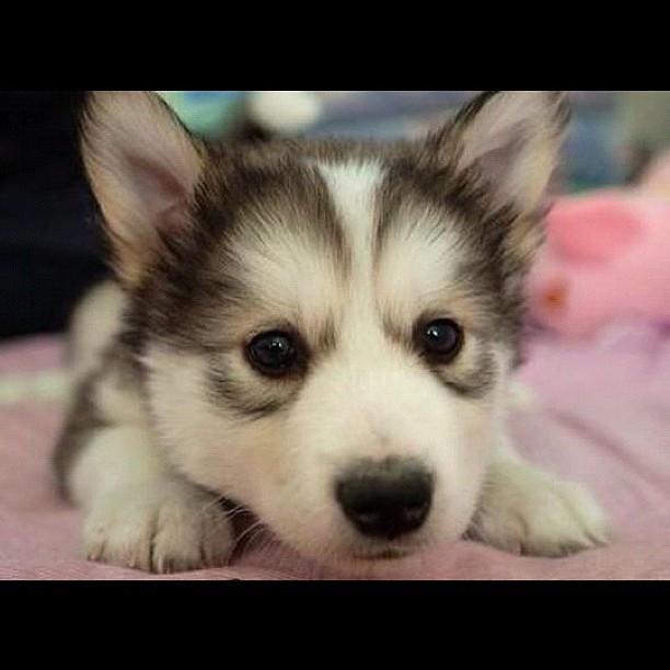 #cute #husky #puppies #pets #animal #dog #love #girl #blac ...