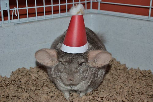 Charlie the Chinchilla gets into the Christmas spirit at 24 Sussex. | by PM Stephen Harper