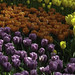Colourful Tulip Beds