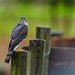 Besra Sparrow Hawk