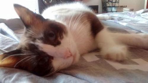 Ummi, gata Siamesa tricolor muy dulce y juguetona tímida nacida en 2013, en adopción. Valencia. ADOPTADA. 29867503252_8478e5968e