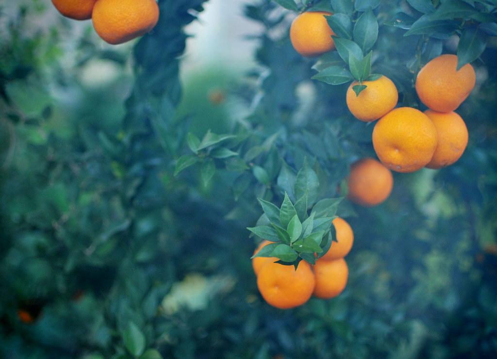 Myrtle leaved orange citrus myrtifolia seen once again for Citrus myrtifolia