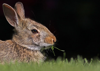 Eastern Cottontail...#17 | by Guy Lichter Photography - 3.3M views Thank you