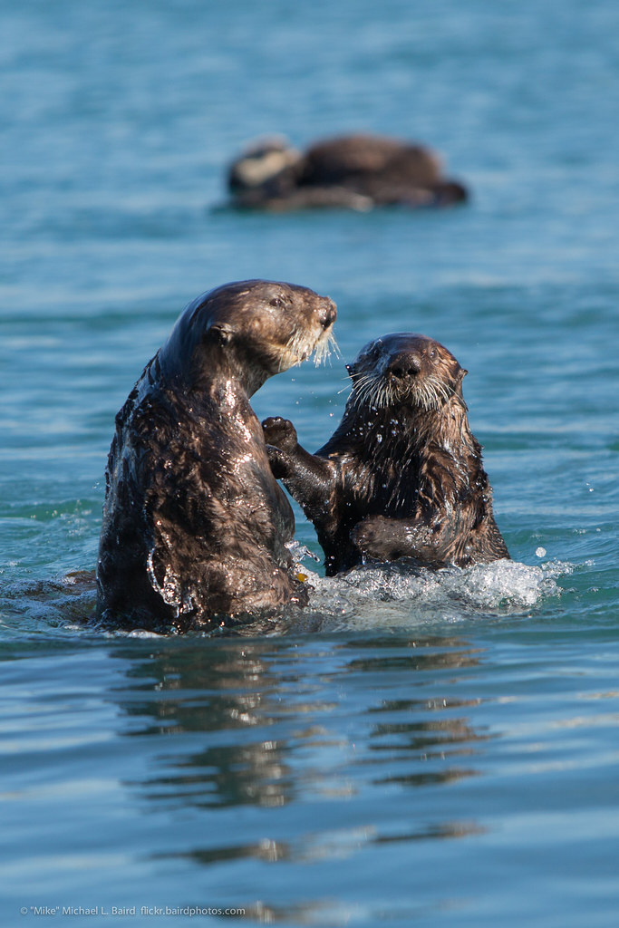 pair of sea otter  enhydra lutris  marine mammals playing