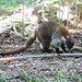 A coati (they're related to raccoons)