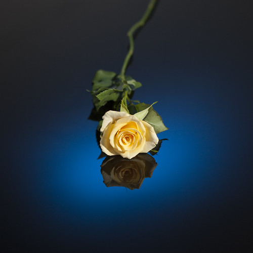 er!... a yellow rose on blue background!!! | by Damon Hart