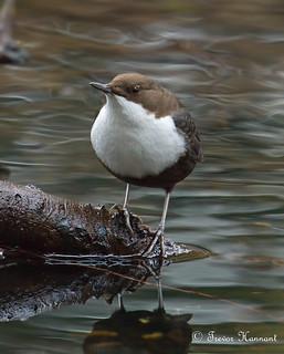 "BLACK-BELLIED DIPPER. ""Cinclus cinclus cinclus"" rarity status: Scarce 