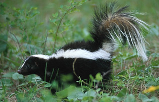Skunk | by rikkis_refuge
