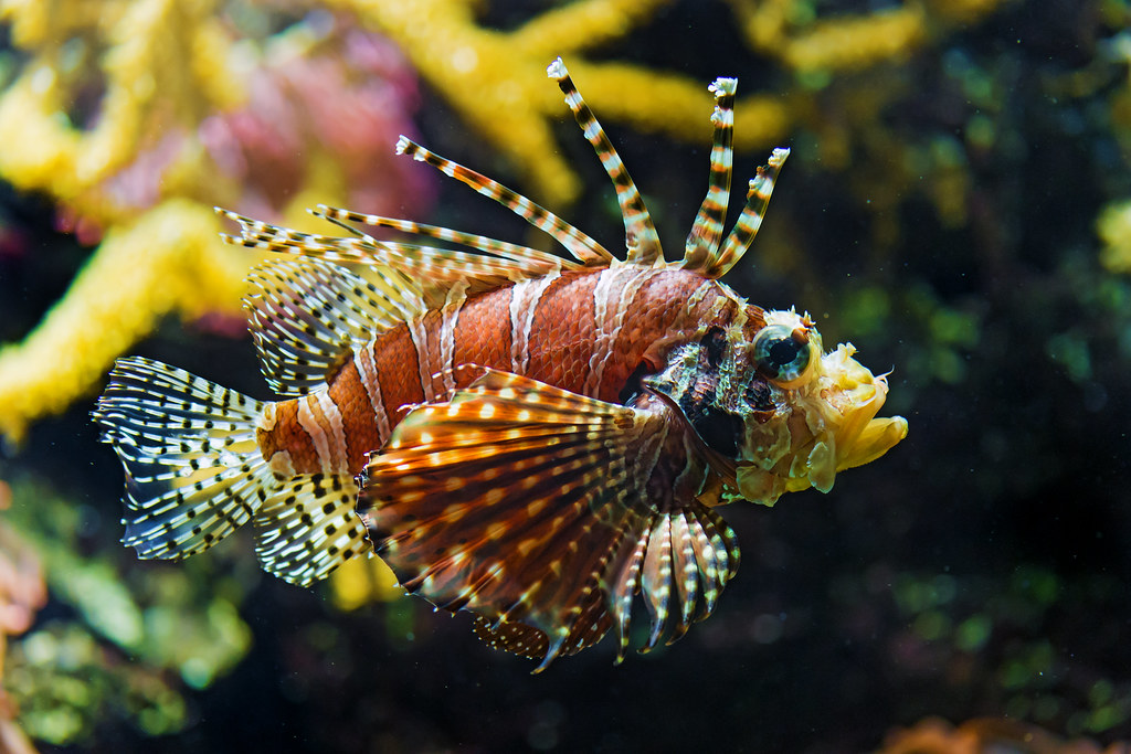Nice Lionfish Now Here 39 S A Lionfish These Animals Are