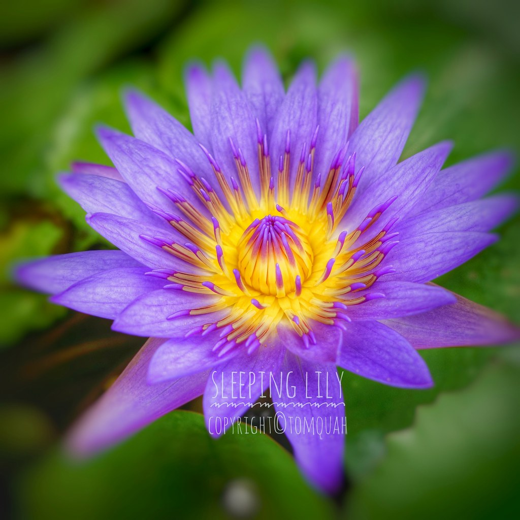 Pretty In Purple And Yellow Explored Taken At Marina Bay Flickr