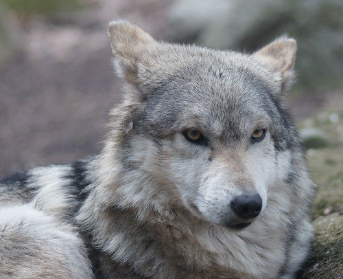 grey wolf research paper The wolf is truly a special animal as the most widely distributed of all land mammals, the wolf, formally the gray wolf (canis lupus), is also one of the most adaptable.