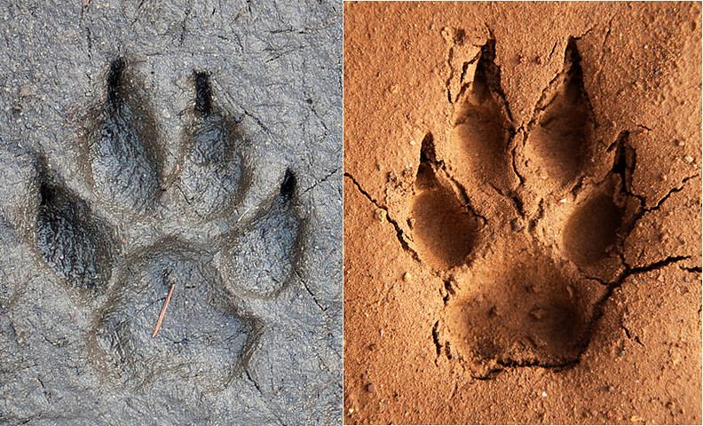 Cat Vs Dog Tracks
