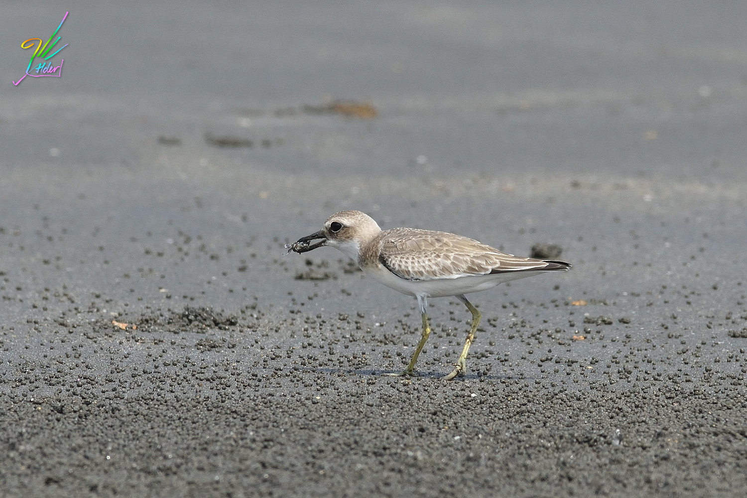 Greater_Sand_Plover_2157