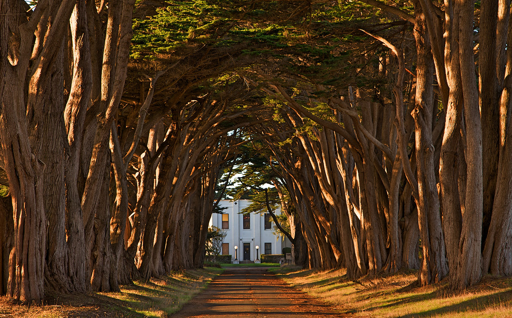 Cypress Tree Avenue at KPH, Point Reyes
