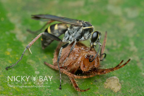 Spider-Wasp (Pompilidae) - DSC_3086 | by nickybay