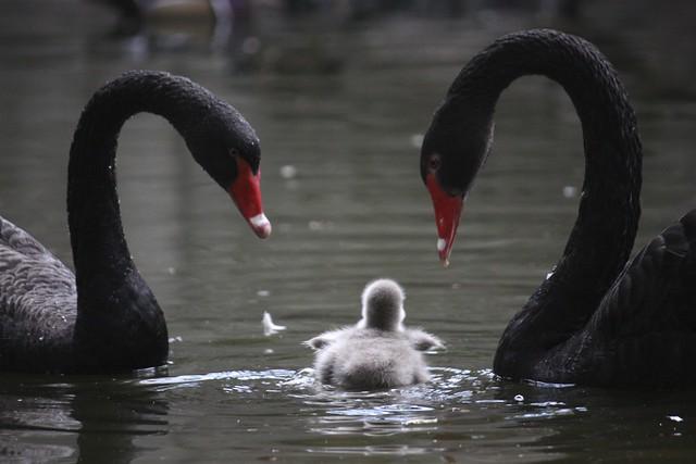 Cygnet~black swan