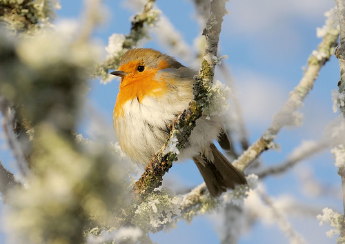 D120038 European Robin | by Nick Sidle