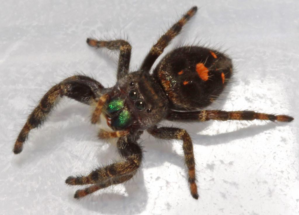 2011.10.26_23.13.20_IMG_6458 | Daring jumping spider ...