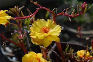 DSC_0021 Portulaca grandiflora ポーチュラカ 松葉牡丹