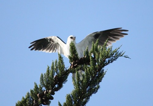 Black-shouldered Kite | by Elizabeth Yu
