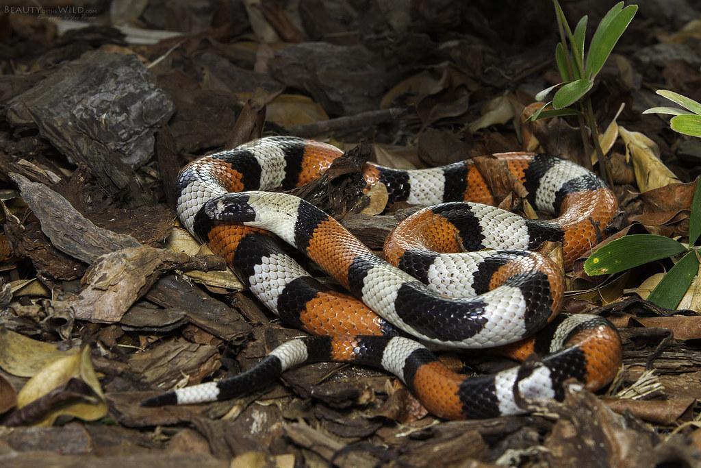 Pueblan Milk Snake | Pueblan Milk Snake Lampropeltis ...