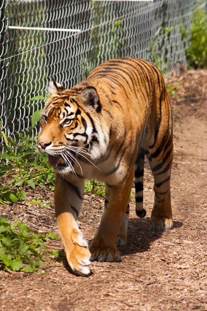 Tiger pacing III | Female tiger pacing the fenceline