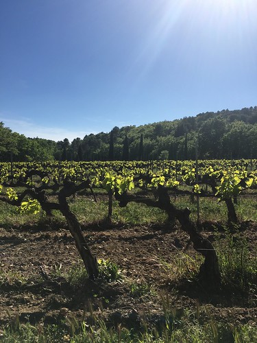 Vines at Château Unang vineyard in Malemort-du-Comtat | by Kate Wirth