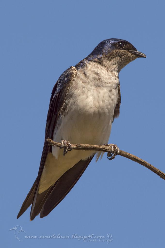 Golondrina doméstica (Gray-breasted Martin) Progne chalybea