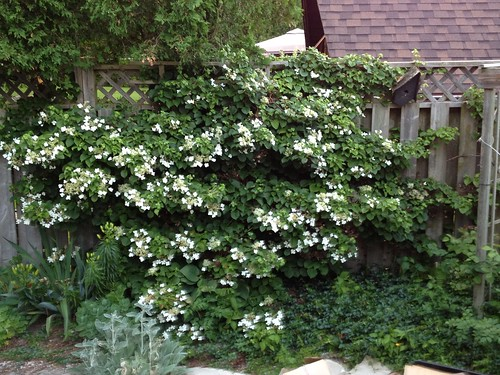 climbing hydrangea in bloom cassey flickr. Black Bedroom Furniture Sets. Home Design Ideas