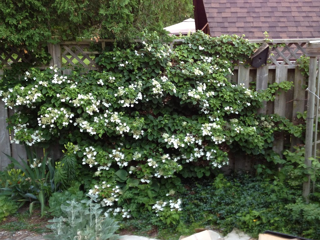 climbing hydrangea vines petiolaris anomala hyd 4 inch. Black Bedroom Furniture Sets. Home Design Ideas