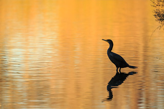 sunset cormorant | by v_ac_md