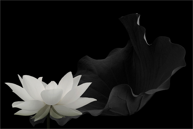 Black and white lotus flower img 6591 2 g full 1