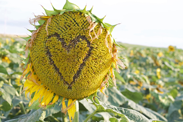 heart sunflower