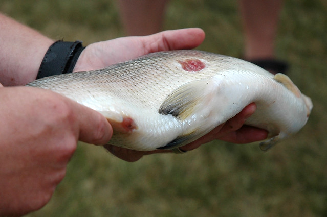 Sea Lamprey wound on a Lake Whitefish | Flickr - Photo ... Lamprey Bite