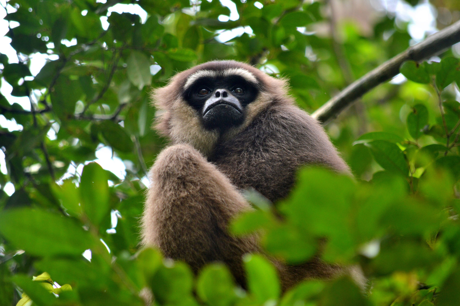 Gibbon at Camp Leakey